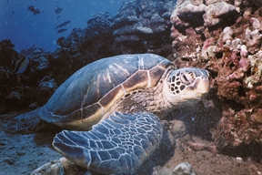 Honu is Hawaiian for Turtle.